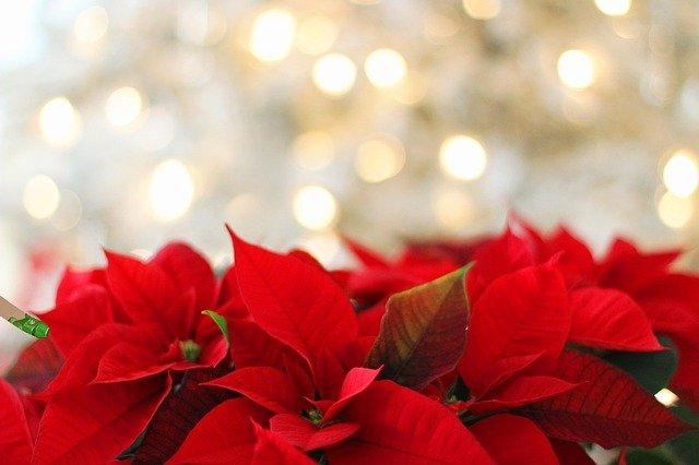 Αλεξανδρινό – Όλα όσα πρέπει να ξέρετε για το λουλούδι των Χριστουγέννων!