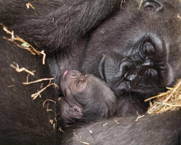 Μαμά-γορίλλας υποβλήθηκε σε καισαρική έκτακτης ανάγκης για να σωθεί το σπάνιο νεογέννητο γοριλλάκι της!