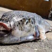 Αυτό είναι το επικίνδυνο τοξικό ψάρι που έχει εισβάλλει στις θάλασσες της Κύπρου